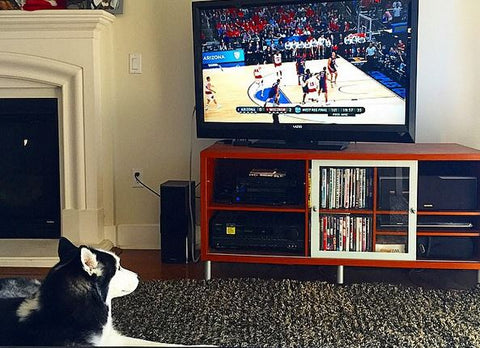 siberian husky watching tv march madness