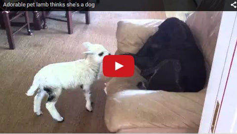 baby lamb wants to play with dog but dog isn't interested