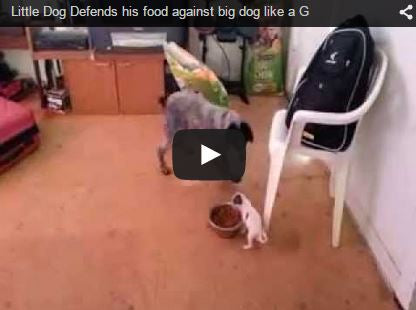 little dog defends food bowl