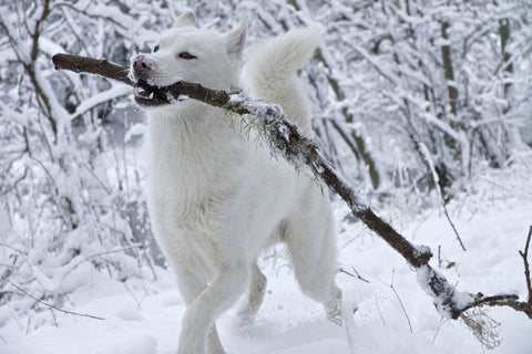 awesome white husky dog
