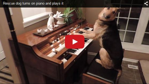 rescue dog can play the piano