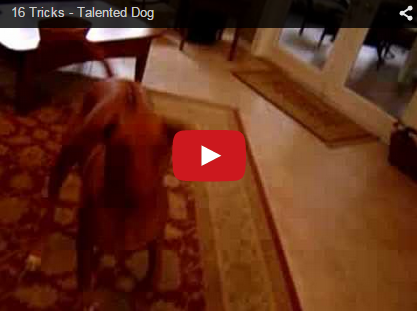 rhodesian ridgeback doing tricks intelligent dog