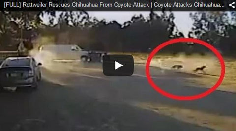 Rottweiler saves Chihuahua from Coyote attack