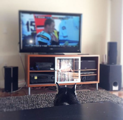 funny siberian husky watching football on TV