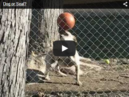 dog playing ball like seal