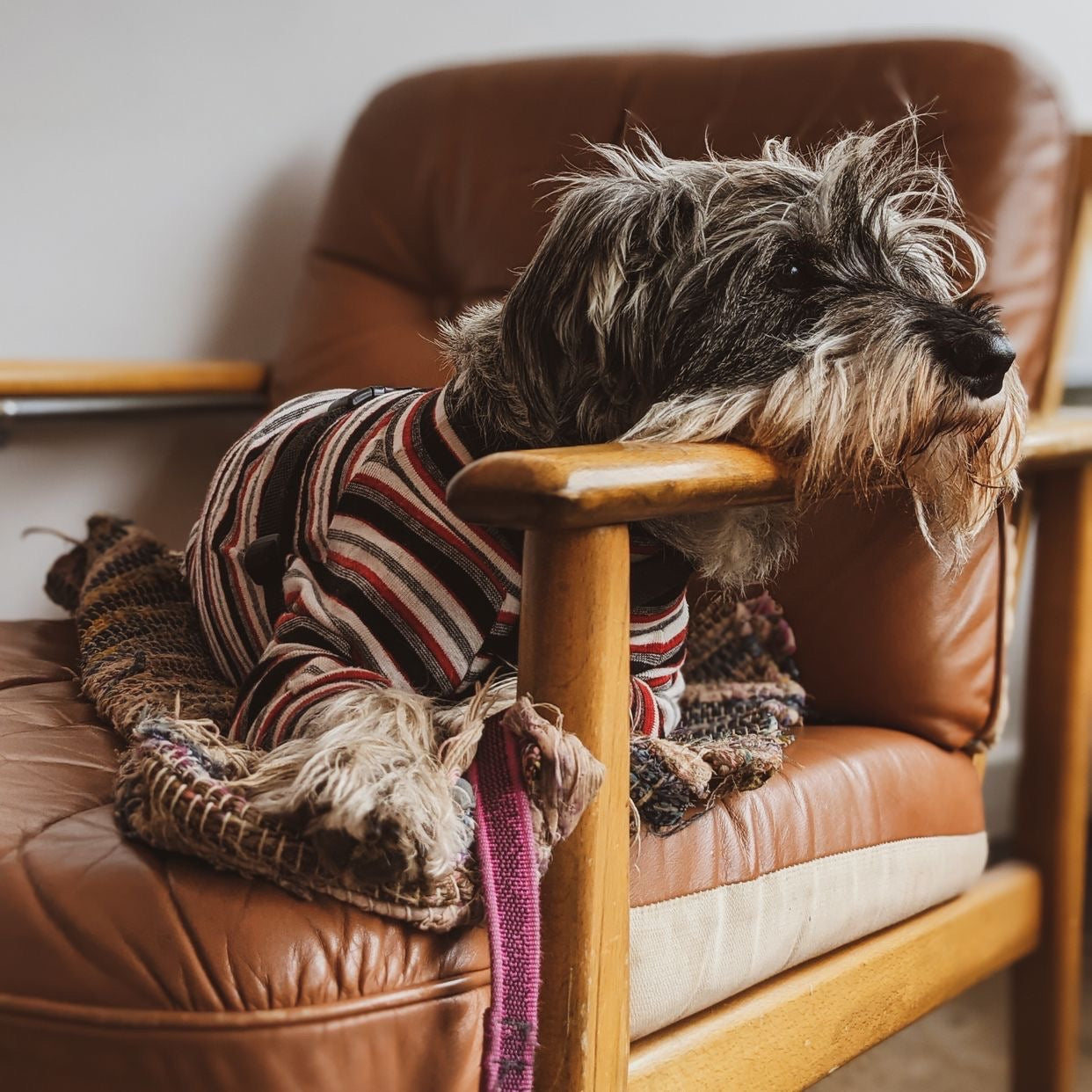 LILY THE STANDARD SCHNAUZER - NEVER TO BE SEEN WITHOUT HER COMFORT