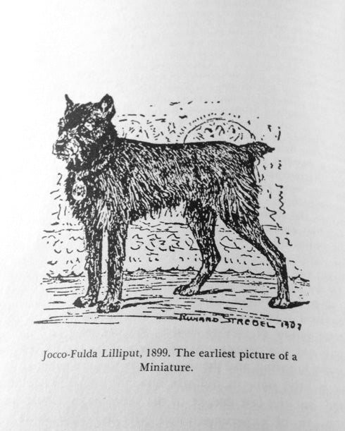 THE earliest picture of the miniature schnauzer