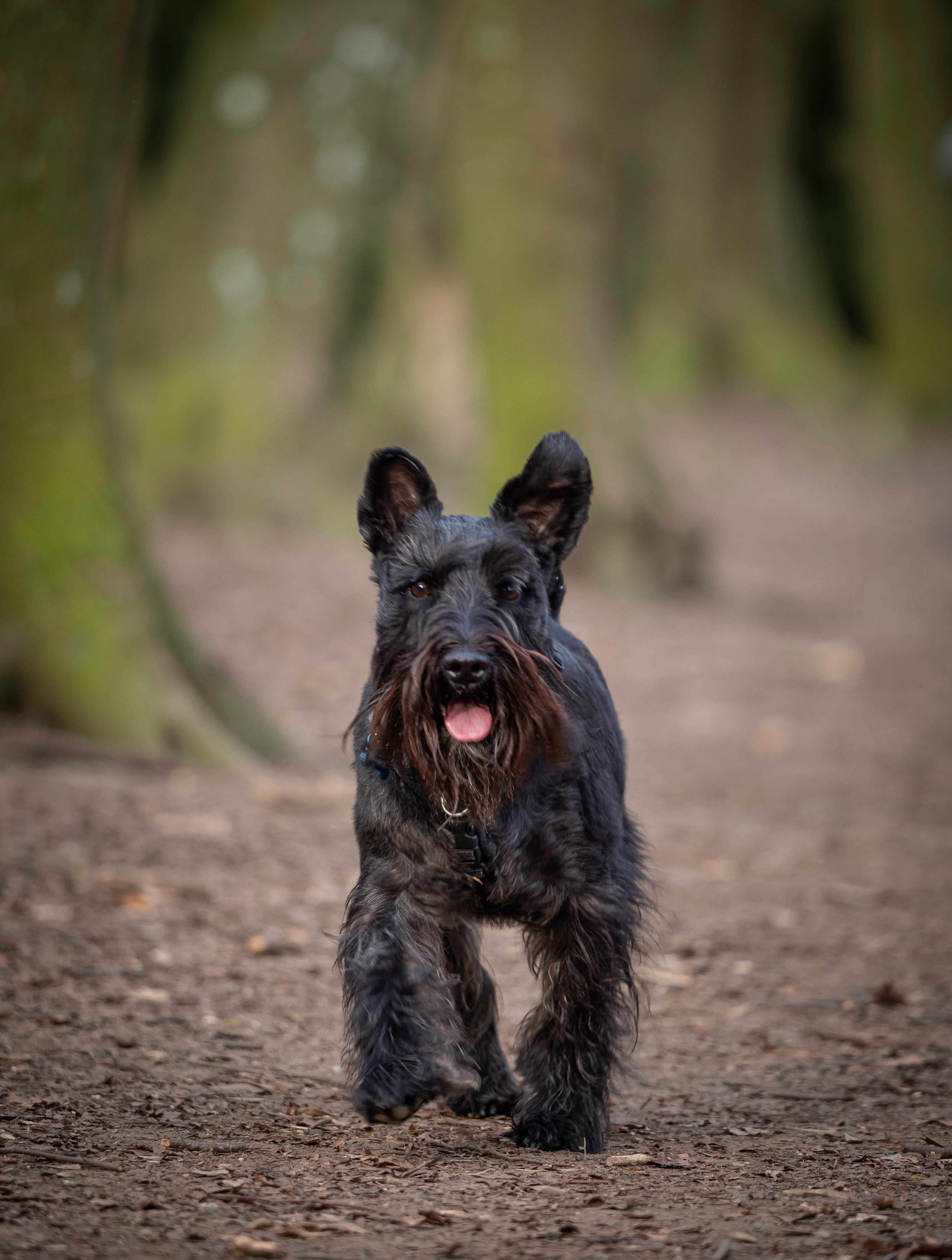 a wood land walk with the Enzo the Miniature schnauzer