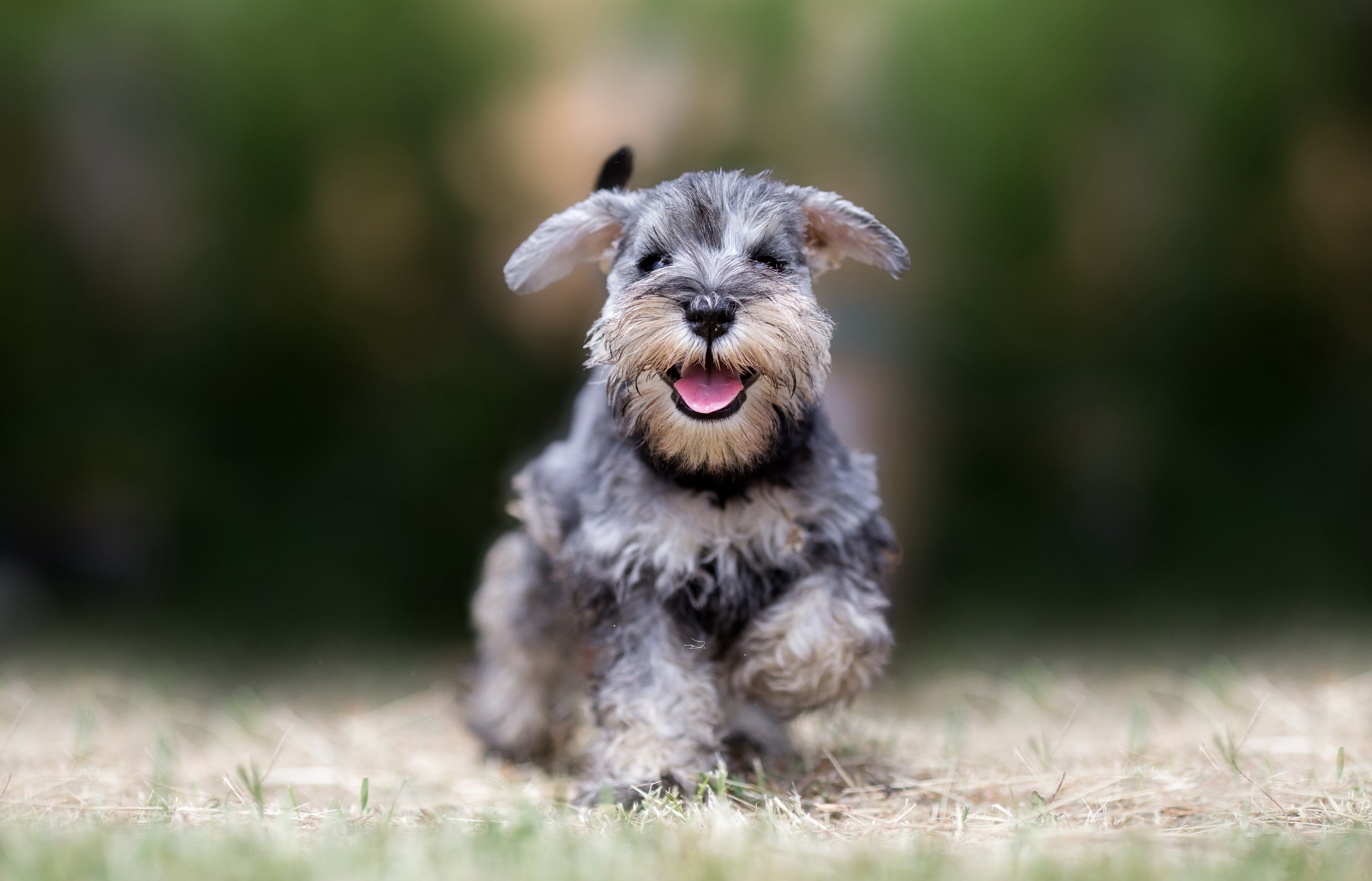 THE HISTORY OF THE SCHNAUZER
