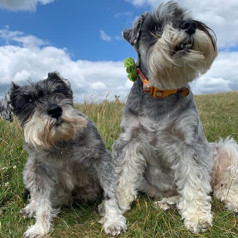 schnauzer spotlight with Bella and Mabel