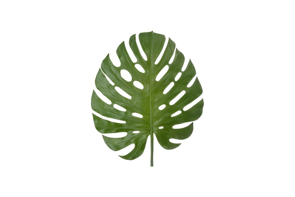 monstera stems available for hire. add a tropical feel to your event without worrying about wilting. avilable for hire in orange, dubbo, bathurst and throughout the central west