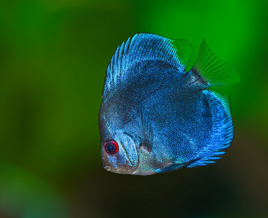 Discus Blue Diamond 7cms