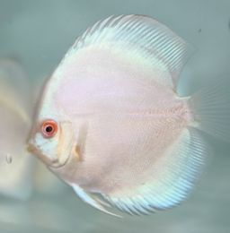 White Butterfly Discus Juvenile 6cm