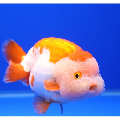 Ranchu Goldfish Assorted