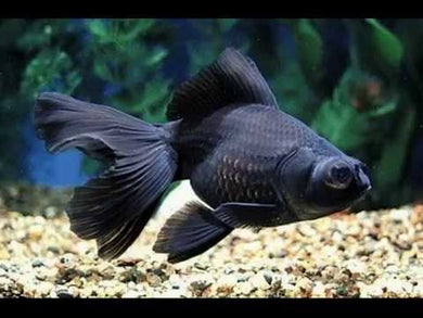 Black Moor Goldfish Small 5cm
