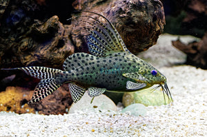 Featherfin Catfish