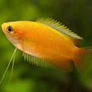 Gold Honey Dwarf Gourami