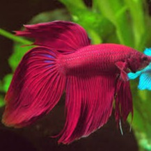 Fighter/Betta Veiltail