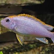 Perspicax Cichlid
