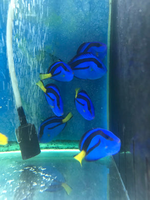 Blue Tang Small