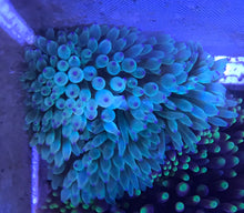 Load image into Gallery viewer, Bubble Tip Anemone (Green with Blue Tips)