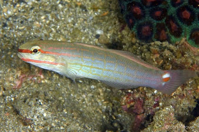 Orange stripe Goby