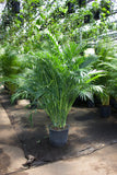 PRE-ORDER FOR PICK UP Palm  ~ Live Plant
