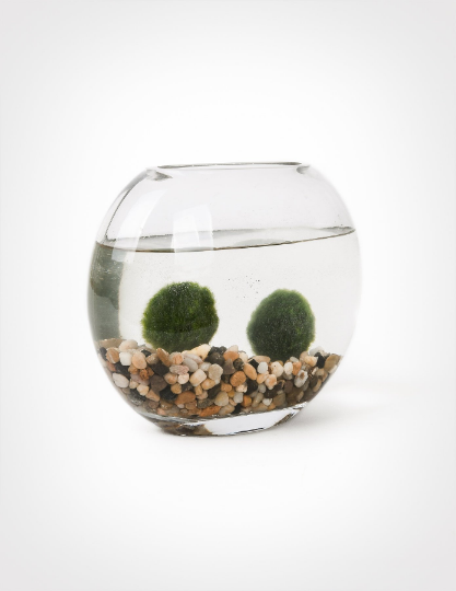 Japanese Marimo Moss Ball