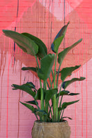 "PRE-ORDER FOR PICK UP 10""-14"" Bird of Paradise ~ Live Plant"
