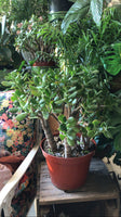 "AVAILABLE FOR PICK UP- Large 10"" Red Tip Jade ~ Live Plant"