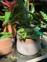 "PRE-ORDER 6"" Exotic Cacti and Succulents ~ Live Plant"