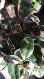 PRE-ORDER Variegated Rubber Tree ~ Live Plant
