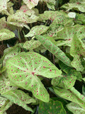 Heart of Jesus Caladium ~ Live Plant