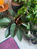 "PRE-ORDER FOR PICK UP 10"" Philodendron Rojo ~ Live Plant"