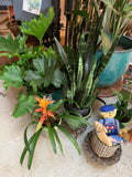 "PRE-ORDER FOR PICK UP 10"" Hope Philodendron ~ Live Plant"