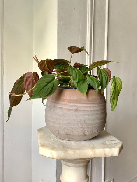 RARE Red Velvet Philodendron Mican  ~ Live Plant