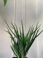 Hedgehog Aloe ~ Live Plant
