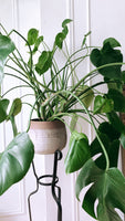 "AVAILABLE FOR PICK UP 6"" - 10"" Monstera ~ Live Plant"