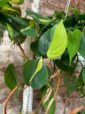 PRE-ORDER Philodendron Brasil ~ Live Plant