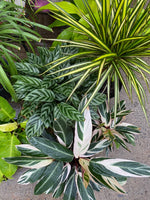 PRE-ORDER FOR PICK-UP Dracena 'Dragon' Tree ~ Live Plant