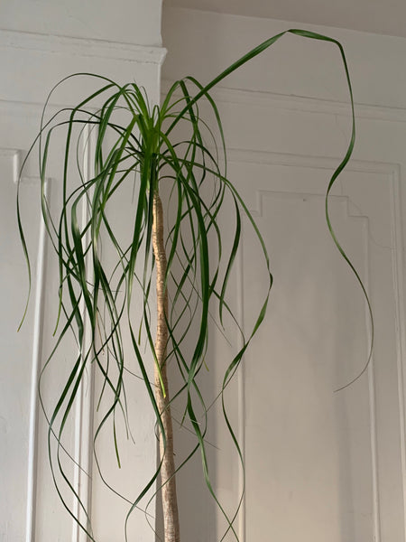 AVAILABLE FOR PICK UP Pony Tail Palm ~ Live Plant