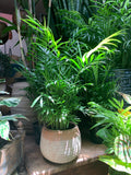 Bella Palm ~ Live Plant