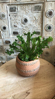 PRE-ORDER Flame Fern ~ Live Plant