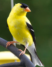 Load image into Gallery viewer, The Goldfinch TRIO with FREE Pocket ADD-ON Pattern