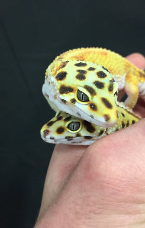 Why Leopard Geckos Make Great Pets