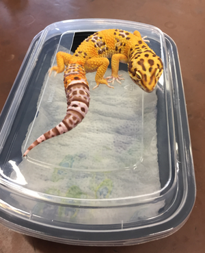 Solution to Leopard Gecko Shedding Problems