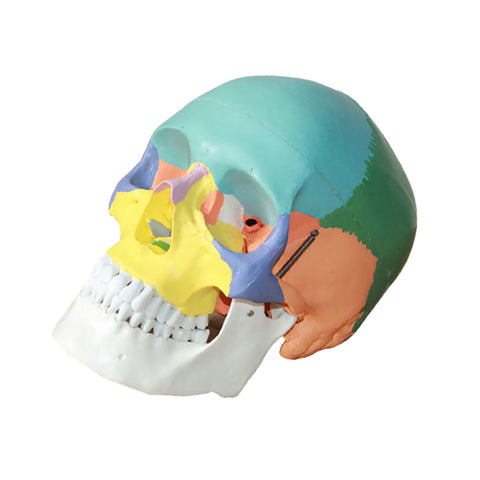 Image of 3 Parts Colored Anatomical Human Life Size 1:1 Skull Model Skeleton