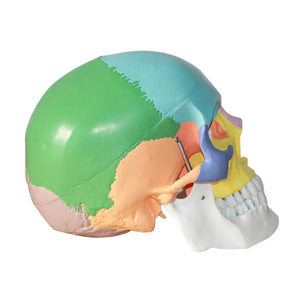 3 Parts Colored Anatomical Human Life Size 1:1 Skull Model Skeleton