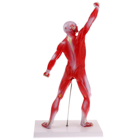 Image of 50cm Height Human Muscle Superficial Muscle Torso Skeleton Model with Base Lab Demonstration Display Science Toy