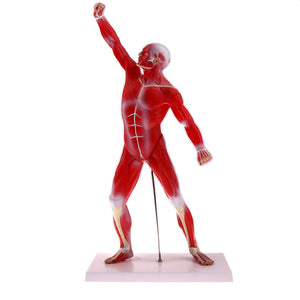 50cm Height Human Muscle Superficial Muscle Torso Skeleton Model with Base Lab Demonstration Display Science Toy